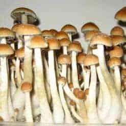Psilocybe Cubensis Mushroom Spores - Premiumspores com