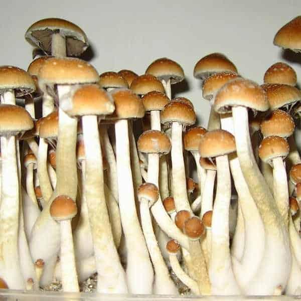 golden-teacher-mushroom-spores