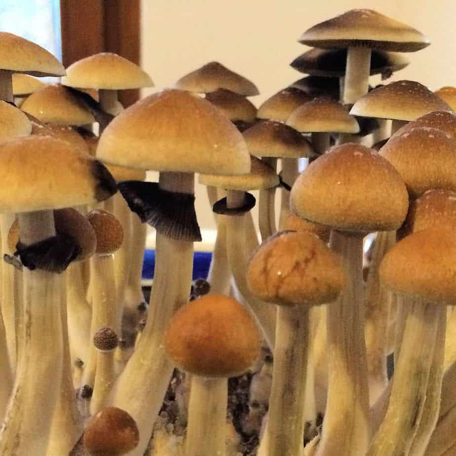 golden-teacher-cubensis-spores