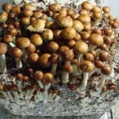 Mazapatec Cubensis Mushroom Spore Syringe