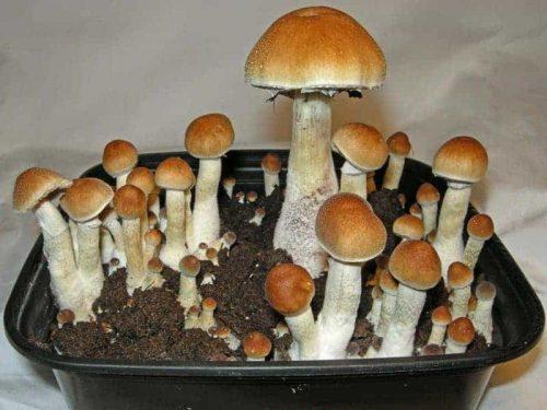 Z Strain Cubensis Mushroom Spore Syringe