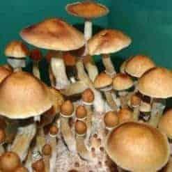 Cambodia Psilocybe Cubensis Mushroom Strain.