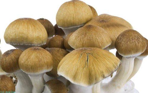 Amazon Cubensis Mushroom Spore Syringe