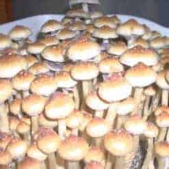 Creeper Cubensis Mushroom Spore Syringe