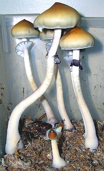 Ecuador Cubensis Mushroom Spore Syringe