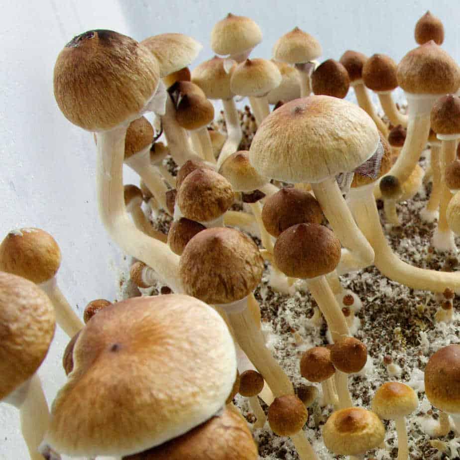 ecuadorian-mushroom-spores