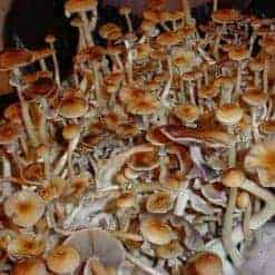 Texas Cubensis Mushroom Spore Syringe