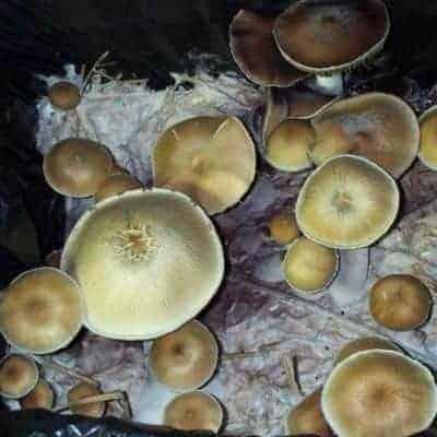 Maui Platinum Mushroom Spore Syringe