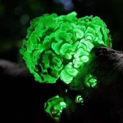 Bioluminescent Mushroom Spore