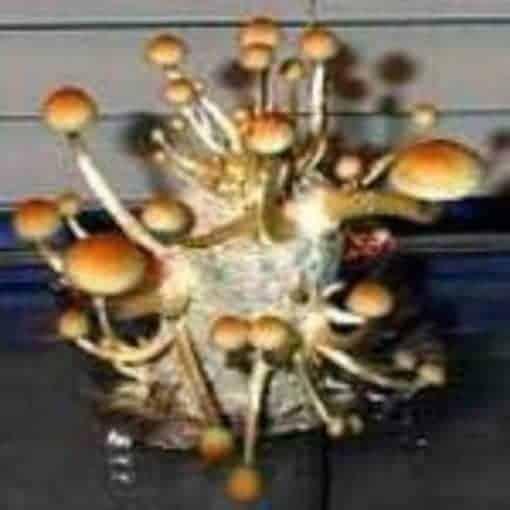 MAZATAPEC Cubensis Mushroom Spore Syringe