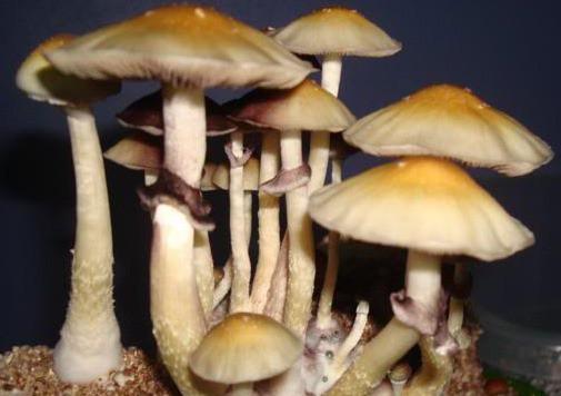 Corumba Cubensis Mushroom Spore Syringe