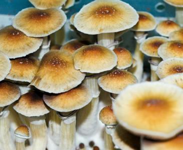 Malabar Cubensis Mushroom Spore Syringe