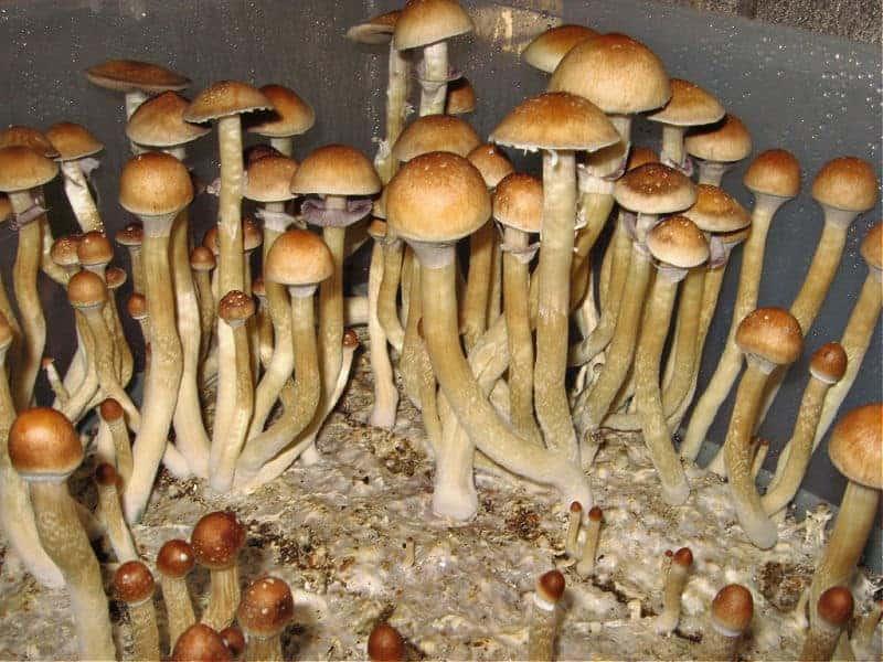 burma-mushroom-spores