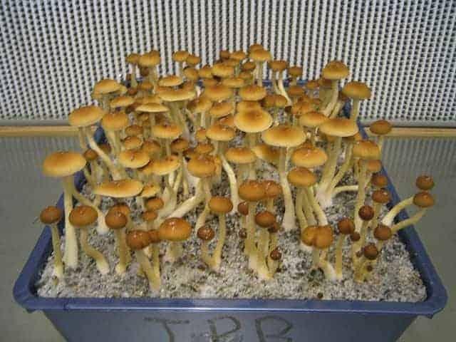 Pink Buffalo Mushroom Spors