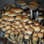 As one of the most sought after strains, (in nature) these spores fruit LARGE, SOLID shrooms which possess effects of a VERY VISUAL nature.
