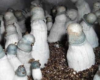 Albino Penis Envy Mushroom Spores