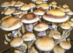 Australia Cubensis Mushroom Spore Syringe