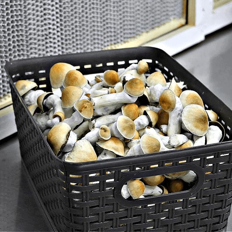 Penis Envy Mushroom Spores