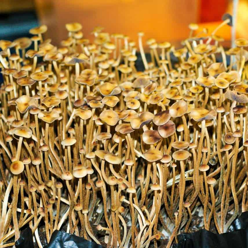 psilocybe-galindoi-mushrooms